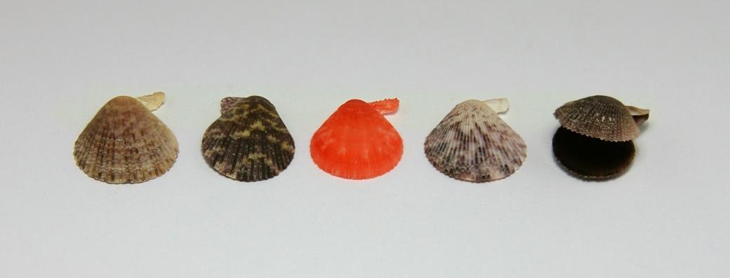 Pectinidae - Chlamys Varia